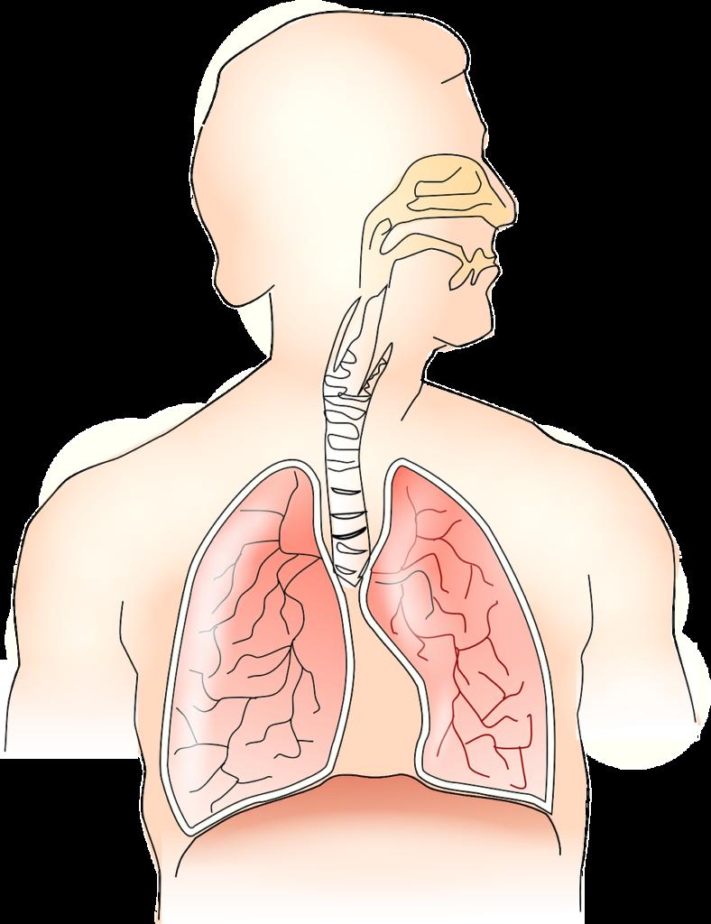 схематичное изображение дыхательной системы