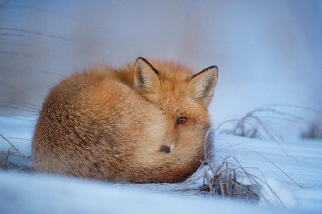 рыжая лисица спит, свернувшись в кольцо
